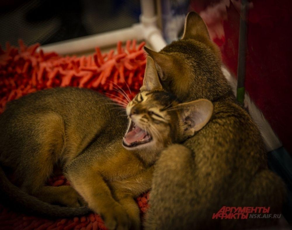 И даже создали кошачьи пары.