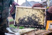 Башкирская пчела.