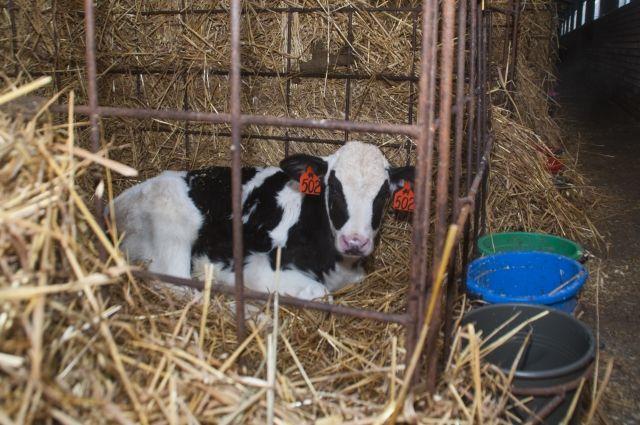 Отрасль животноводства - дело хлопотное, но перспективное.