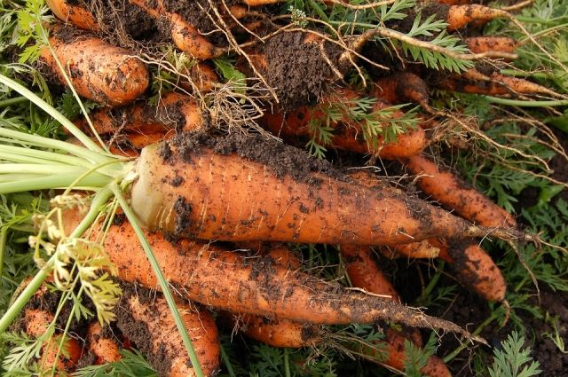 Полезно ли грызть морковку?