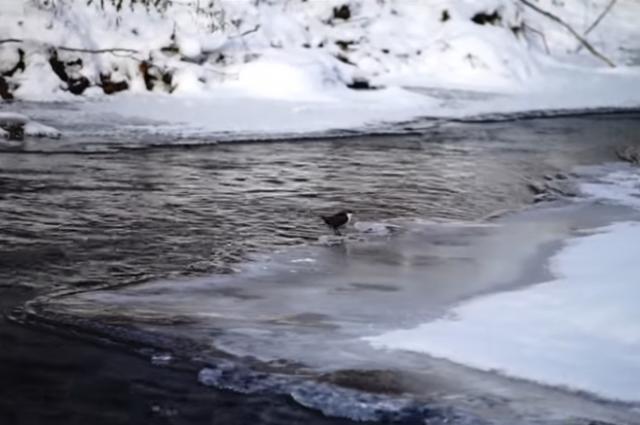 Птица ныряет в ледяную воду за едой