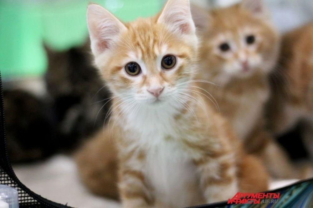 Были котята с нежно-рыжим цветом шерстки.