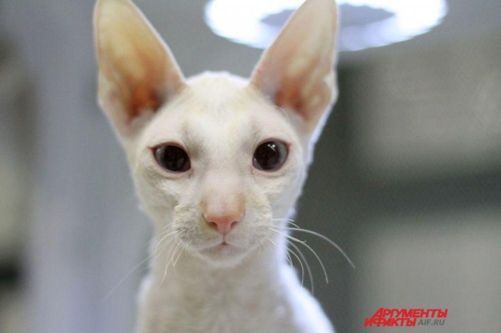 На выставке были представлены котята персидской, экзотической, курильской пород, но не только.