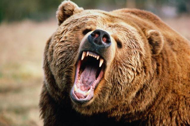 Под Харьковом на женщину набросился медведь