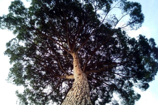 В уходе нуждаются кедровые леса всех возрастов.