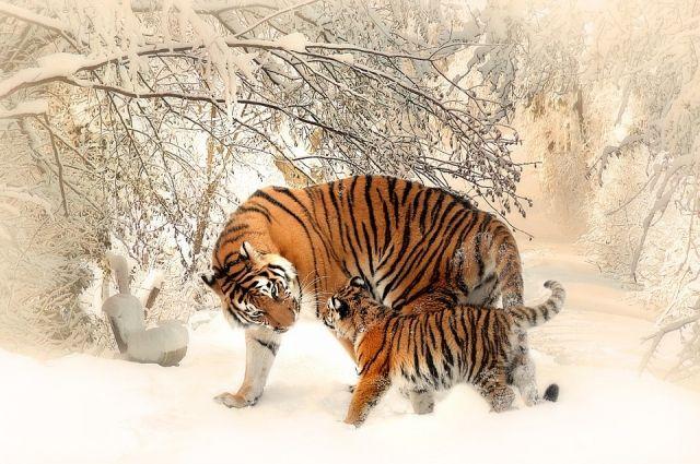 Напомним, что следы одного тигренка были обнаружены две недели назад.