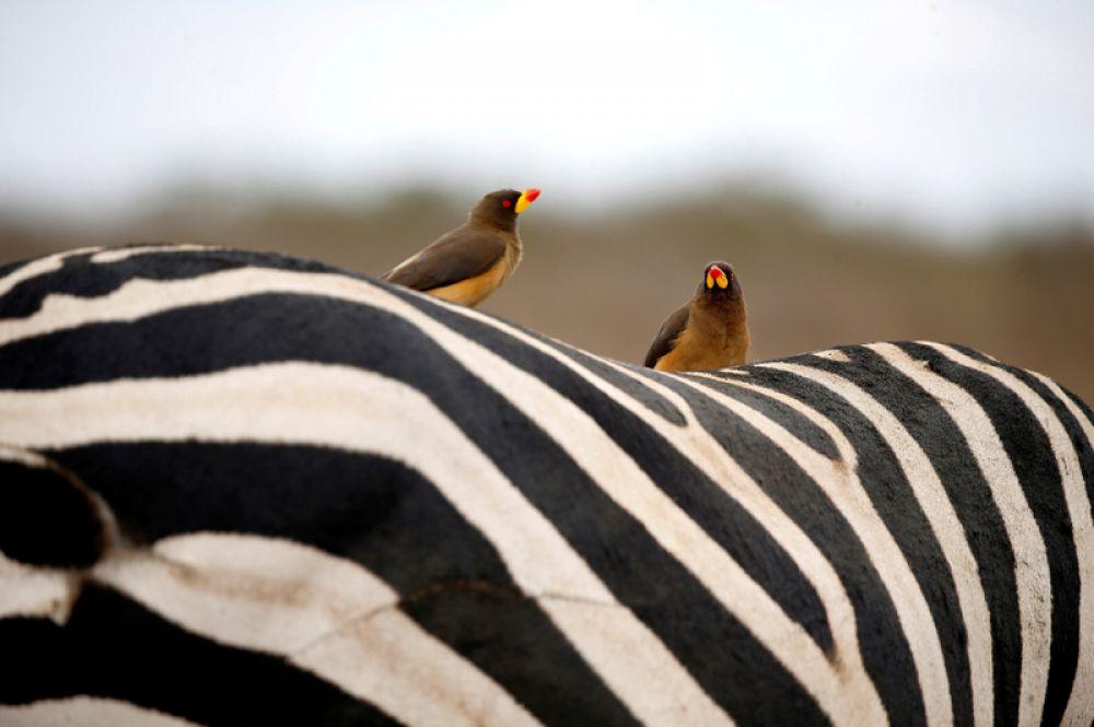 Птицы сидят на спине зебры в Национальном парке Найроби, Кения.