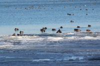 Очень много птиц зимуют на Новотроицком водохранилище.