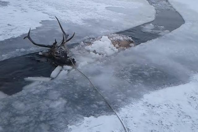 Несмотря на мороз, мужчины пилили лед, понимая, что без их помощи животное ждет страшная смерть.