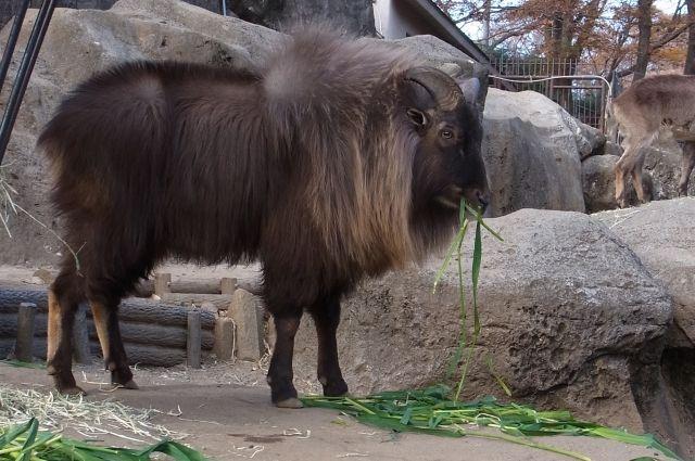 У взрослых самцов гималайского тара есть грива.