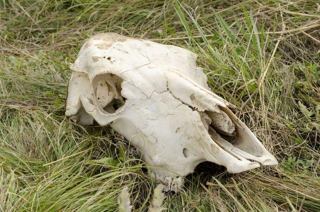 В Бузулукском районе обнаружен опасный и бесхозный скотомогильник.