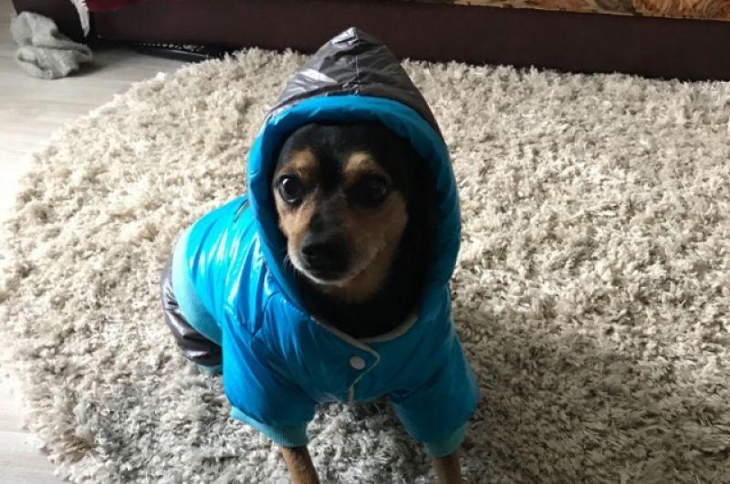 Собака Чип