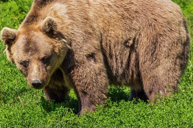 Медведь разгуливал в 4-5 км от города.