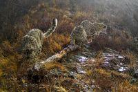 Самка снежного барса Юнчи с подросшими котятами живо интересуются бревном на горной тропе.