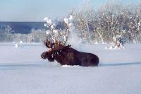Суд разрешил охоту на лося и счел внесение его в Красную книгу незаконным