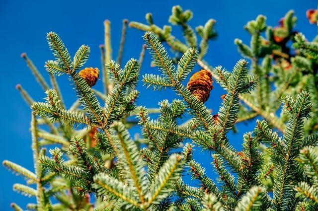 За незаконную вырубку хвойных деревьев предусмотрена административная ответственность.