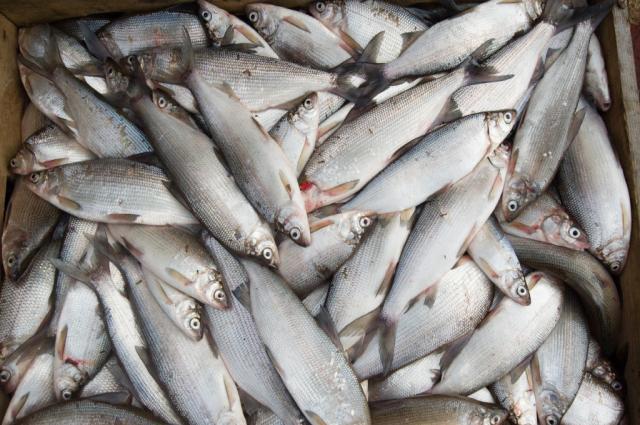 Россельхознадзор отменил дополнительную проверку рыбы из Фукусимы