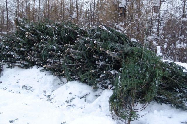 В этом году к новогодним праздникам планируется вырубить для продажи около 9 тысяч хвойных деревьев.