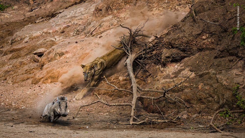 Старая львица, устроившая засаду, в Национальном парке Мана-Пулс в Зимбабве.