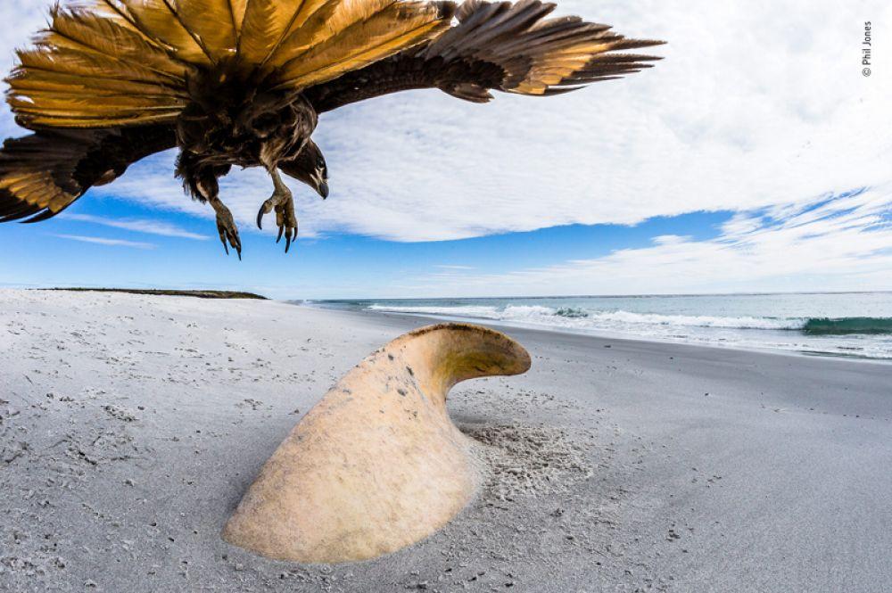 Хищная птица каракара над останками косатки на берегу острова Морского льва Фолклендских островов.