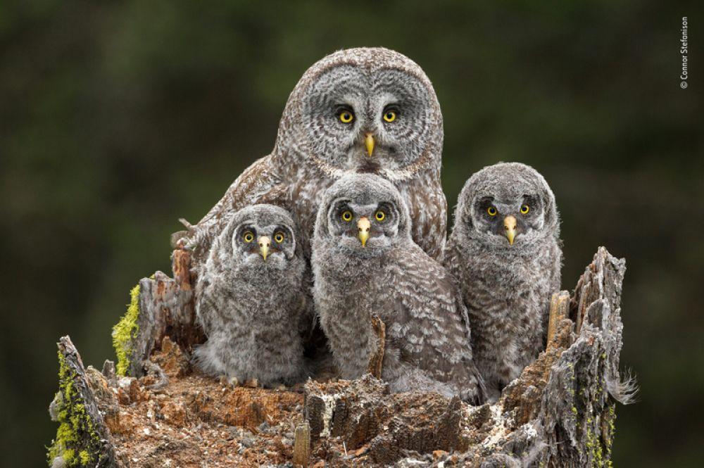Семейный портрет большой серой совы и ее птенцов, Камлупс, Канада.