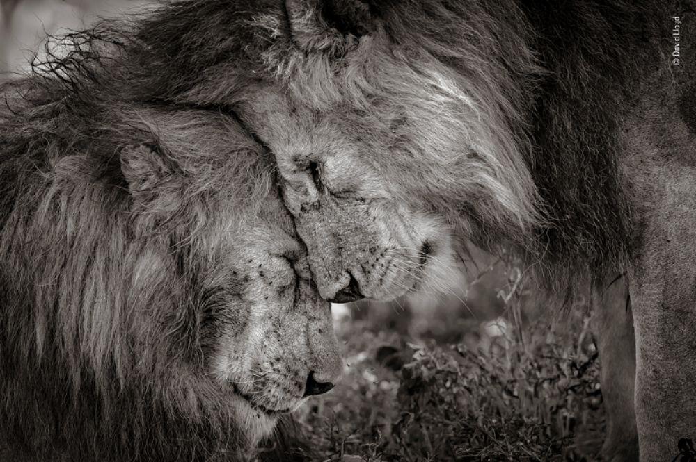 Приветствие двух взрослых львов.