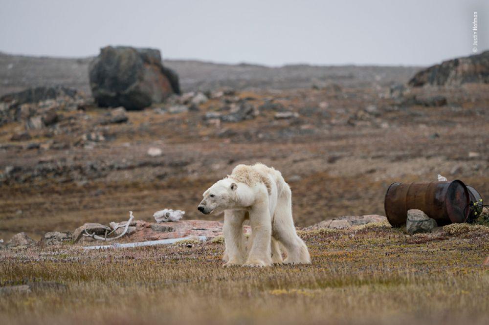 Голодный белый медведь в заброшенном охотничьем лагере в Северной Канаде. Лед в округе слишком тонкий, чтобы мишка мог идти по нему в поисках пищи.
