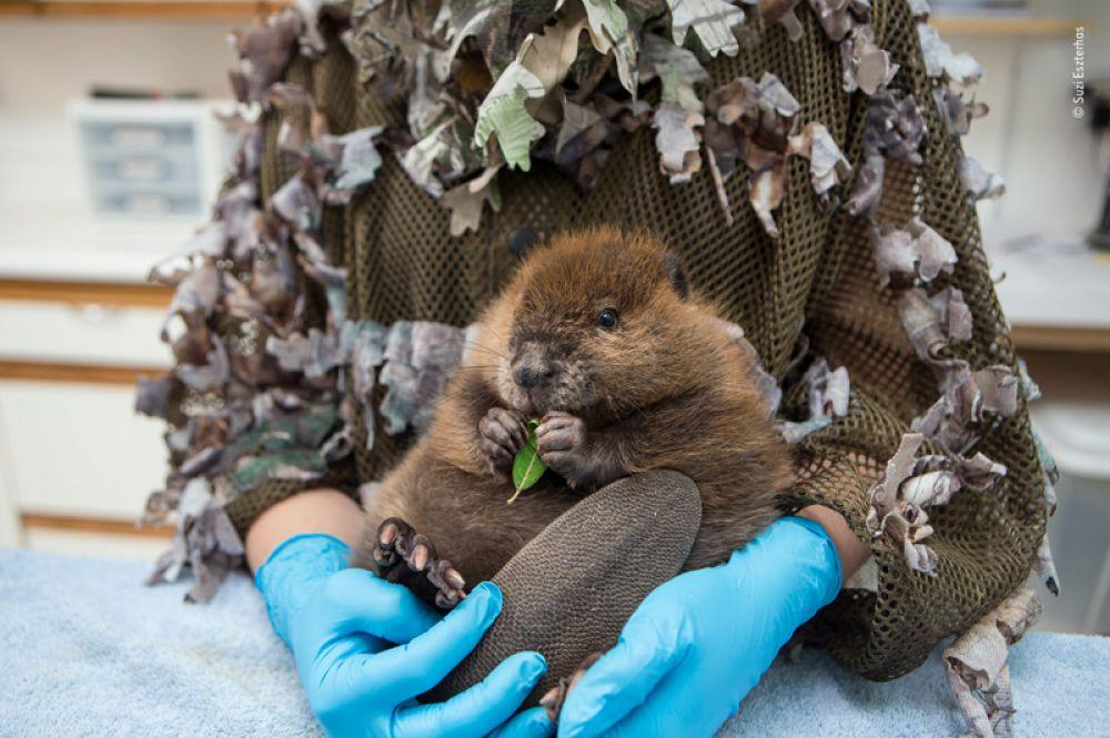 Детеныш канадского бобра, оставшийся сиротой, на руках у смотрителя в Центре дикой природы Сарви в Арлингтоне, штат Вашингтон.