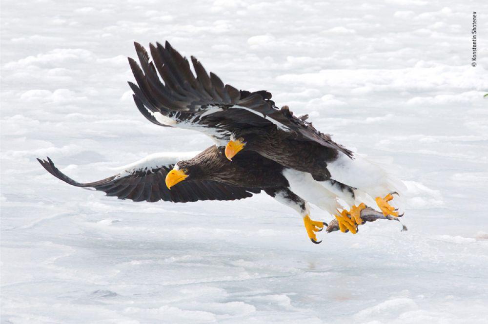 Белоплечие орланы охотятся за рыбой во время своей миграции из России к северо-восточному побережью Хоккайдо.