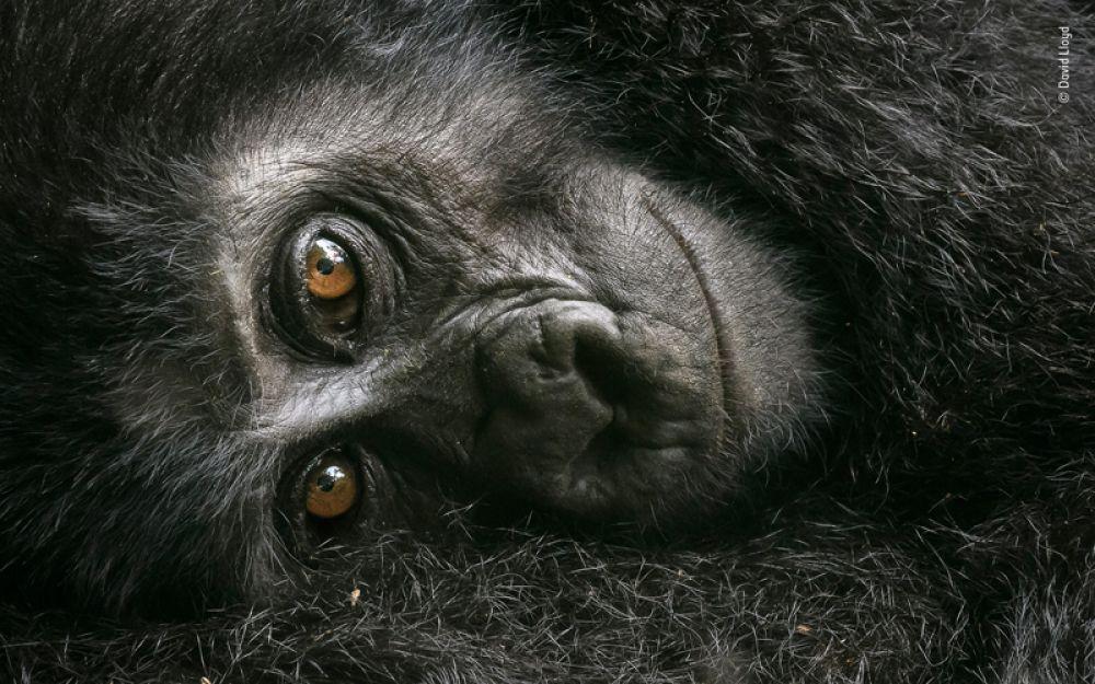 Детеныш горной гориллы на руках у матери в лесу Бвинди, Уганда.