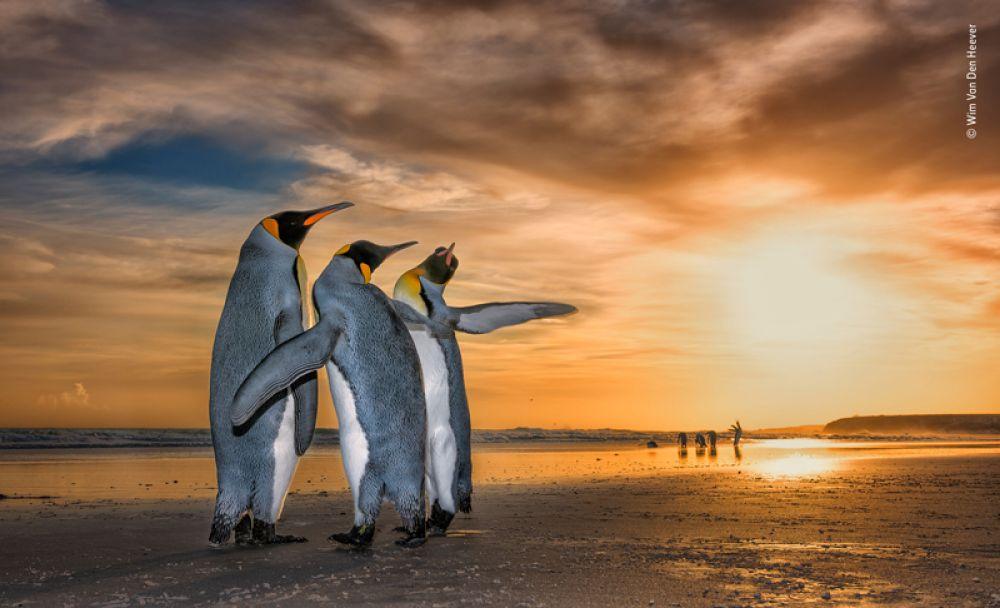 Королевские пингвины на пляже Фолклендских островов.
