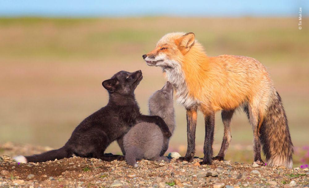 Рыжая, чернобурая и серебряная лисицы в штате Вашингтон, Северная Америка.