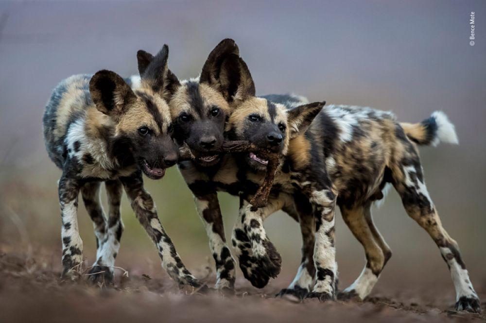 Щенки гиеновидной собаки играют с ногой импалы, Мкузе, Южная Африка.