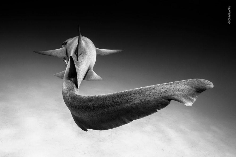 Усатая акула-нянька у побережья Бимини на Багамах. Как правило, эти акулы находятся вблизи песчаного дна, где они отдыхают, поэтому редко можно увидеть, как они плавают.