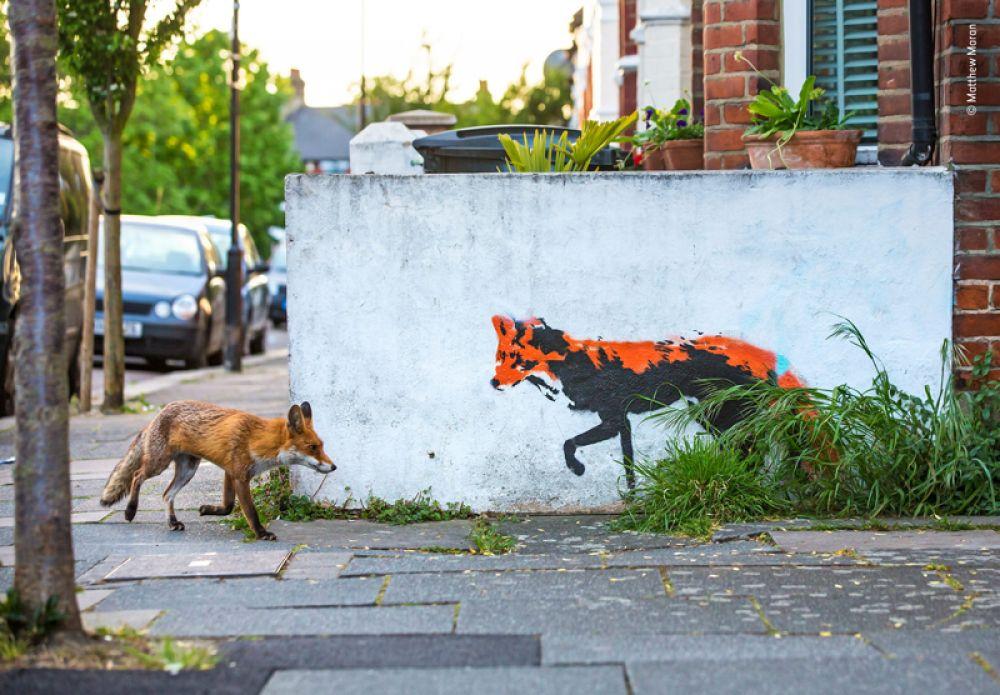 Встреча двух лис на улицах Лондона.