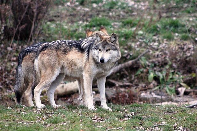 Стая волков растерзала собаку в Чердынском районе.