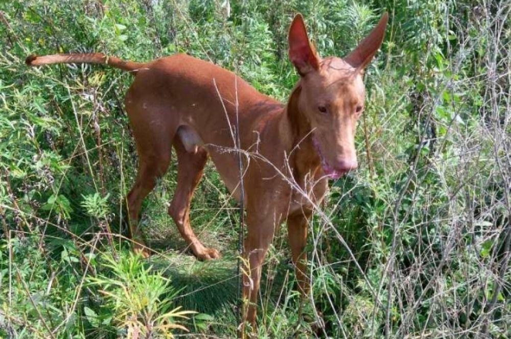 Собака Эль- порода фараонова собака
