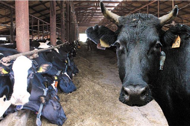 Прикамские производители умеют работать с сырым молоком, могут обеспечить и сохранить его качество.
