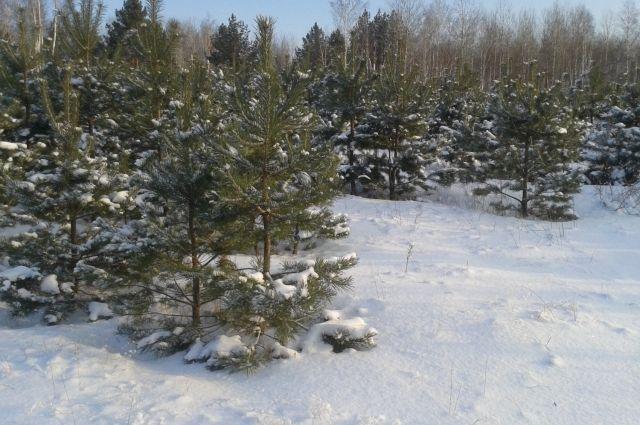 Идет строительство теплиц для елок.