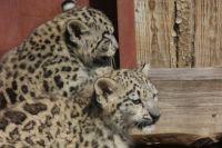 Барсята из Пермского зоопарка разъезжаются по другим регионам России и ближнего зарубежья