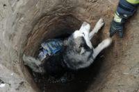 Под Киевом хаски провалился в канализационный люк