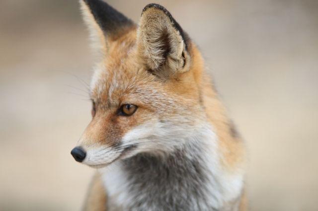 В детский сад Салехарда из леса пришла лиса