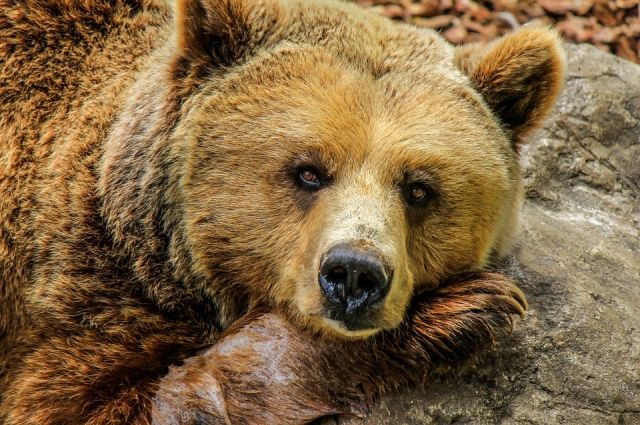 Чуткого медведя разбудил квадрокоптер, но потом он опять улегся спать.
