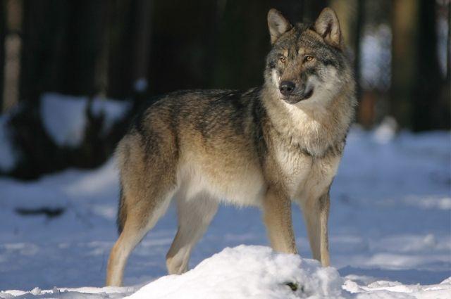 Волки появились в деревне ещё в сентябре, но активность начали проявлять недавно.
