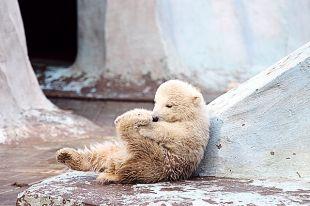 Белый медвежонок из зоопарка Новосибирска переехал в Китай
