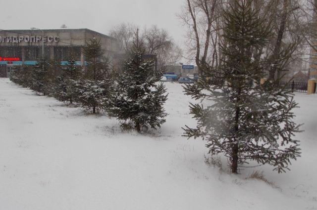 Специальным раствором обработают все елки в городе.