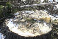 Житель Таштагольского района вырубил 16 деревьев хвойных пород.