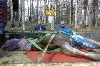 В Тюменской области мужчина застрелил самку лося и детеныша