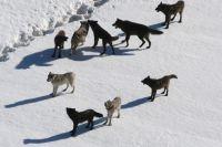 10 декабря охотникам и егерям удалось убить 8 диких животных: трёх матёрых волков и 5 молодых.