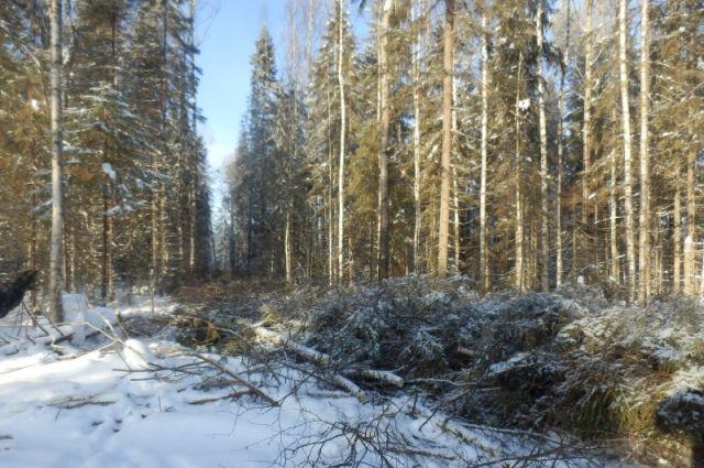 В Тюмени контролируют вырубку леса